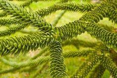 Monkey-puzzle tree has distinctive woven foliage.