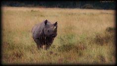 Black Rhino on Safari Live Masai Mara 10-6-17