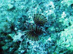 #lionfish #gilitrawangan