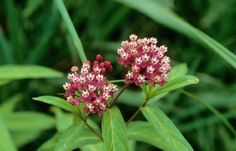 Milkweed - host plant for monarch butterfly caterpillars