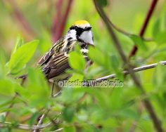Chestnut Sided Warbler  Nature Photography  by FeatherWindStudio, $28.00