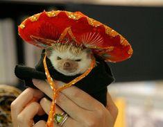 彼らはソンブレロを身に着けているのが得意です。 | 20 Enchanting Facts About Hedgehogs
