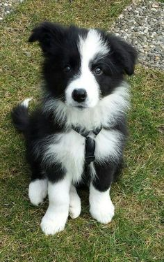 The cutest border collie puppy! Doesnt even look real – looks like an adorable little stuffed toy! The cutest border collie puppy! Doesnt even look real – looks like an adorable little stuffed toy! Cute Baby Animals, Animals And Pets, Funny Animals, Border Collie Puppies, Collie Dog, Border Collies, Cute Puppies, Cute Dogs, Dogs And Puppies