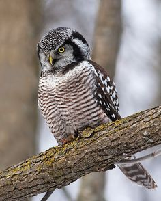 Northern Hawk Owl (Surnia ulula) - Picture 8 in Surnia: ulula - Location: Quebec, Canada. Photo by Rachel Bilodeau.