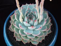 Echeveria chihuahuensis 'Ruby Blush'