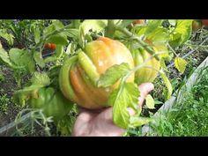 Care sunt bolile tomatelor? Existra tratamente bio pentru rosii? Ghidul ce urmeaza va prezenta cele mai frecvent intalnite boli in cultura de rosii. Compost, Organic, Stuffed Peppers, Mai, Gardens, Food, Tomatoes, Banana, Plant