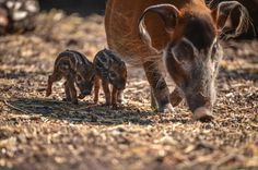Red river hog piglets born at Chester Zoo Baby Animals Pictures, Cute Baby Animals, Red River Hog, Chester Zoo, Cottage In The Woods, Dog Lady, Cute Babies, Creatures, Piglets
