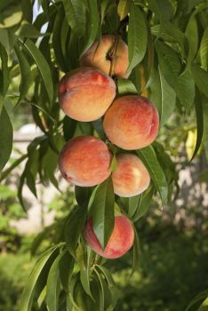 The Sam Houston Peach Tree Requires Only 500 Chill Hours To Fruit It S A Large Self Fertile And Freestone With Small Pit All Of These Attributes Make