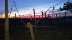PIGHIN Friuli Grave Vineyard