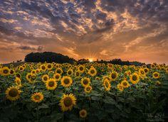 Sunflowers sunset - Summer sunset at Sunflower field in Pesnica,Slovenia