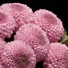 Certi Chrysant Monoko, roze, bloemen, groot, boeket, Certi #Bloemen, #Planten, #webshop, #online bestellen, #rozen, #kamerplanten, #tuinplanten, #bloeiende planten, #snijbloemen, #boeketten, #verzorgingsproducten, #orchideeën