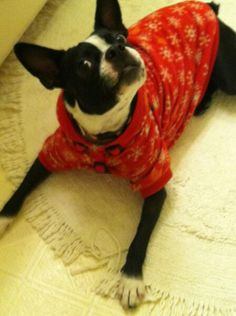 """My Boston Terrier, Figgy. This is the face of, """"put down the camera, now!"""""""