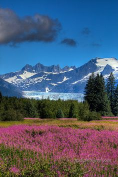 Mendenhall Glacier, Alaska In the foreground is Fireweed which grows wild all over AK in the summer. It is called this because it comes up after a fire (or so we were told). July 2013 (traveled with Pat and Toby Williams) Nebraska, Oklahoma, Juneau Alaska, Alaska Travel, Wyoming, Puerto Rico, Beautiful World, Beautiful Places, Great Places