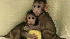 Chinese scientists pioneer monkey cloning