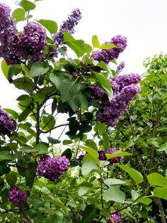 Gin, Dessert Recipes, Fruit, Garden, Nature, Flowers, Liliac, Smoothie, Foods