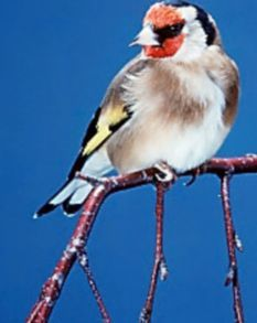 Goldfinches are fond of thistles