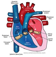 Learn about the Heart--video and diagram