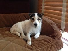 Sugar is an adoptable Jack Russell Terrier (Parson Russell Terrier) Dog in Denver, CO. This is Sugar! �She is about 10 years old. �She came from a small town in Oklahoma where her owner died and she e...