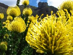 Proteas, proteas and more proteas!