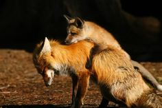 Fox kit is given a piggy back ride by its dad