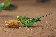 Homemade Parakeet Toys