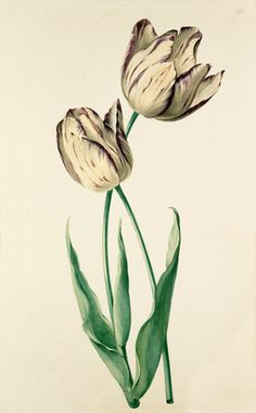 August Wilhelm Sievert -- Plate 22 -- Tulip -- View By Flower -- RHS Prints
