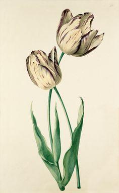 August Wilhelm Sievert -- Plate 22 -- Tulip -- View By Flower -- RHS Prints