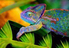 http://fashion3344.blogspot.com - Strabiliante metamorfosi colorata del camaleonte del Magadascar!