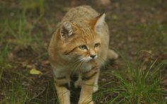 free desktop backgrounds for sand cat