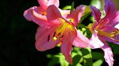 image of lily flower - Google Search