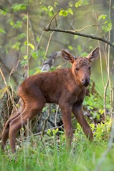 Baby moose in the forest by Janusz Pienkowski / 500px Forest Animals, Kangaroo, Baby Animals, Moose, Wildlife, Pets, Antlers, Horns, Amazing