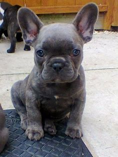 Blue Brindle French Bulldog Puppy! I will have one as a son one day!