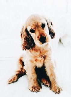 What a sweet face Puppies And Kitties, Baby Puppies, Cute Puppies, Cute Dogs, Doggies, Perro Cocker Spaniel, Spaniel Puppies, Baby Animals, Cute Animals