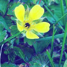 LF #yellow #green #yellowandgreen #yellowflower #flower #greengrass #spring #springflowers #beautifulnature #natureisbeautiful #sun #sunshine #light #adventure
