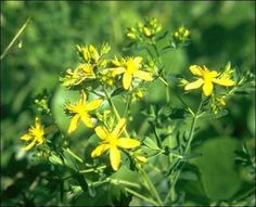 How to Make St. John's Wort Tea from Capsules to Alleviate #Depression. --- #stjohnswort