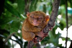 tarsiers in a tree - Google Search