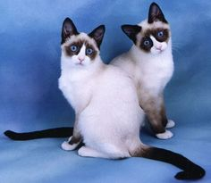 Snowshoe  I rescued a Snowshoe kitty and named her Nikki... She is shy but coming around and gets along great with my Maine Coon, Jaspurr and my 3 Jack Russells. Quite a feat for any kitty!