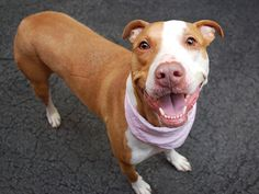 A1035273_Nysha2. ON KILL LIST ONLY HOURS LEFT !! GREAT BEHAVIORAL RATING PLEASE DONT LET THEM KILL HER PLEASE SOMEONE STEP UP AND FOSTER ' SHARE PLEDGE SAVE FOSTER PLEASE