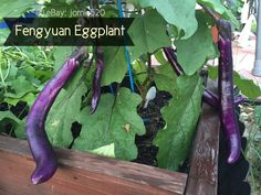 RARE✿ Taiwan Feng Yuan Long Purple Eggplant 20 Seeds ●Non-bitter ●Our Favorite!