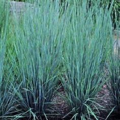 Schizachyrium scoparium 'Prairie Blues' PRAIRIE BLUES LITTLE ...