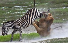 a Lion Attacked a Zebra for food but the Zebra didn't let the lion to eat it so she attacked and ran away.