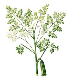 """New!  Organic Moringa Leaf offered by Mountain Rose Herbs. Learn more about this """"wonder tree"""" over on our blog!"""