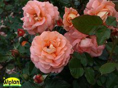 Rosa 'Bonita Renaissance', Renessanceros från Poulsen. Orangerosa stora dubbla rosor.  Mycket doft.  Buskigt växtsätt.  Höjd 1-1,5 m.