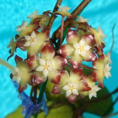 Hoya vitellina $$$ SRQ 3052 Hoya vitellina - $16.00 : Hoya Plants and Cuttings