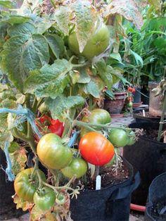 zlatava tomato tomaten. Black Bedroom Furniture Sets. Home Design Ideas