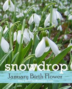 January Birthstone Flower Snowdrop Birthdaybullseye Pretty