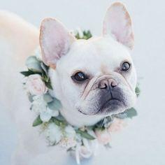 French Bulldog at the Wedding