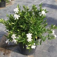 Frost Proof Gardenia | Naturehills.com Landscaping Around Trees, Outdoor Landscaping, Front Yard Landscaping, Backyard Landscaping, Landscaping Ideas, Backyard Ideas, Landscaping Borders, Florida Landscaping, Patio Ideas