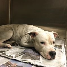 ***PAST DUE!!! Urgent Dogs of Miami 12/22/16 ***Buster had a family, now he's heartbroken &  wondering why no one wants him. Buster #A1831639  is the most ADORABLE angel. He is so happy to feel loved and be pet when you visit his kennel. Buster is super gentle and loving. Not to mention, he is incredibly handsome!! Buster needs a loving home to call his own because he is WAY PAST DUE & very urgent!!!(@urgentdogsofmiami)