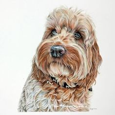Friendly, professional UK artist Angie draws bespoke coloured pencil dog portraits based on your favourite photos. Here's Alfie, a gorgeous Cockapoo. Animal Drawings, Art Drawings, Pencil Drawings, American Bulldog Puppies, Puppy Drawing, Yorkshire Terrier Puppies, Color Pencil Art, Dog Paintings, Pencil Portrait